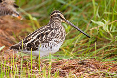 African snipe in wetland Royalty Free Stock Photo