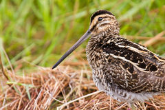 African snipe in wetland Royalty Free Stock Images