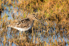 African Snipe in marshland or wetland looking for food. African snipe in a wetland.  Looking for food or nesting material. Also known as Ethiopian snipe Royalty Free Stock Photography
