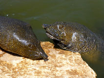 African softshell turtles (Trionyx triunguis) Royalty Free Stock Photography