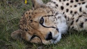 Cheetah close up. African Southern cheetah lying sleepy in the grass Stock Photo
