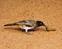 African sparrow Stock Photo