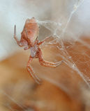 African Spider. Spiders often send shivers down ones spine, but this one has a lovely peach colour, disguising its deadly potency Stock Image
