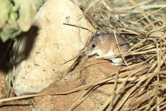 African spiny mouse. On the rock Stock Images