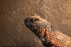 African spiny-tailed lizard Royalty Free Stock Images