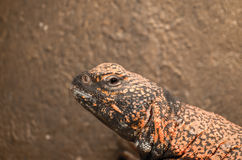 African spiny-tailed lizard Stock Photos