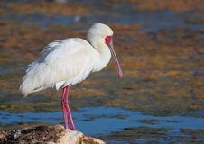 African Spoonbill Royalty Free Stock Image