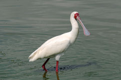 African spoonbill Royalty Free Stock Photography