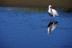 African Spoonbill Stock Image