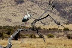 African-Spoonbill Stock Images