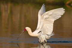 African Spoonbill Royalty Free Stock Photos