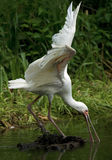 African spoonbill. Hunting for fish in the pond Stock Photography