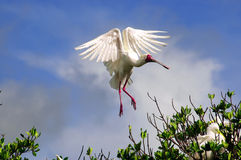 African Spoonbill in Casamance, Senegal, Africa Royalty Free Stock Image