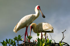 African Spoonbill in Casamance, Senegal, Africa Royalty Free Stock Photography
