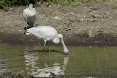 African Spoonbill Catching Food Royalty Free Stock Photo