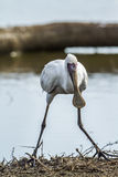 African spoonbill in Kruger National park, South Africa Stock Photo