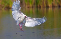 The African Spoonbill (Platalea alba). Landing on the water in South Africa stock photo