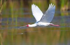 The African Spoonbill (Platalea alba). Flying over the water in South Africa royalty free stock photo