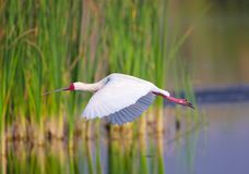 The African Spoonbill (Platalea alba) Royalty Free Stock Photography