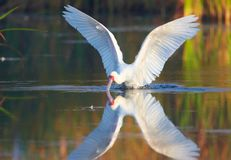 The African Spoonbill (Platalea alba) Stock Photography