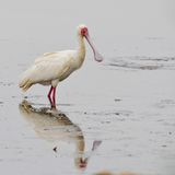 African spoonbill (platalea alba) Stock Photo