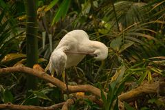 The African spoonbill Platalea alba on branch. The African spoonbill Platalea alba an branch with green background stock photography