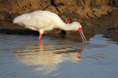 African spoonbill Royalty Free Stock Images