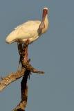 African Spoonbill (Platalea alba). Stock Images