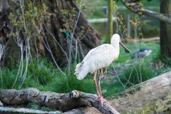African spoonbill. The African spoonbill, Platalea alba, is a long-legged wading bird of the ibis and spoonbill family Threskiornithidae. Big white bird with red stock photo