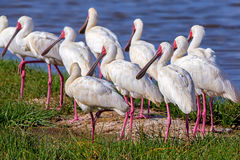 African spoonbill or Platalea alba. Pack of African spoonbill or Platalea alba royalty free stock photography