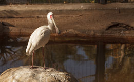 African spoonbill, Platalea alba. Is a white bird with a red face found in Africa royalty free stock photo