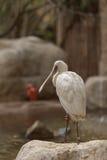 African spoonbill, Platalea alba Royalty Free Stock Photography