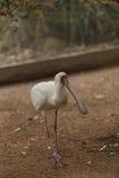 African spoonbill, Platalea alba Royalty Free Stock Photo