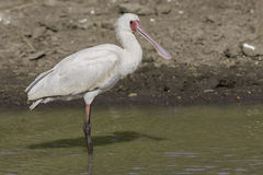 African Spoonbill Portrait. An African Spoonbill, standing in the large dam in Kenya's Nairobi National Park Royalty Free Stock Images