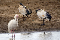 African spoonbill and sacred ibises, Lake Nakuru National Park, Stock Image