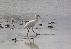 African Spoonbill, Selous Game Reserve, Tanzania Stock Photography