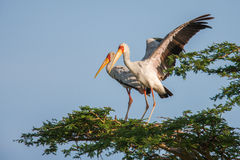 African Spoonbill Stork Wild Bird Background from Africa. Royalty Free Stock Photos