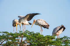 African Spoonbill Stork Wild Bird Background from Africa Stock Photography