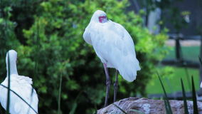 African Spoonbill trying to rest stock video