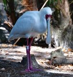 An African Spoonbill. This is a Winter picture of a African Spoonbill on exhibit at the Lowry Park Zoo located in Tampa, Florida in a Hillsborough County. This royalty free stock image