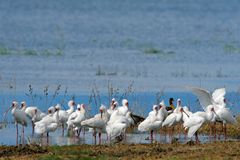 African spoonbills Royalty Free Stock Images