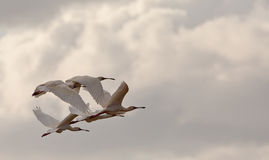 African Spoonbills flying Stock Photography