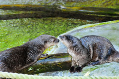 African Spot Necked Otter Stock Photo