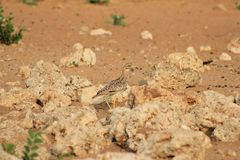 African Spotted Dikkop Stock Photography