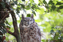 African Spotted Eagle Owl Royalty Free Stock Photo