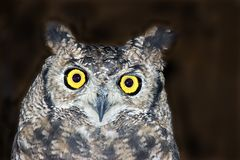 African spotted eagle owl. Portrait of an african spotted eagle owl Stock Photo