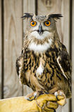 African Spotted Eagle Owl. Royalty Free Stock Image