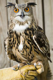 African Spotted Eagle Owl. Stock Image