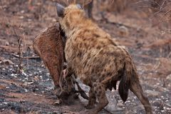 African spotted hyena Royalty Free Stock Photography