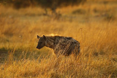 African Spotted Hyena. A highly successful animal Africa's most common predator  Also known as the laughing hyena Royalty Free Stock Photo
